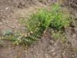 biljka-u-vegetaciji-1