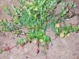 biljka-u-vegetaciji-5