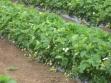 jagode-u-vegetaciji-1