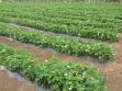 jagode-u-vegetaciji-2
