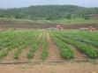 jagode-u-vegetaciji-3