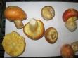 gljiva-blagva