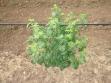biljka-crne-ribizle-1
