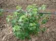 biljka-crne-ribizle
