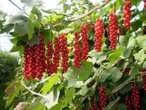 goji bobice uzgoj i sadnja